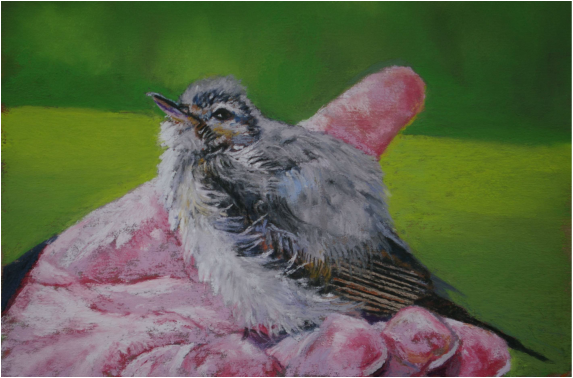 Pastel Painting of a baby kingbird on a hand in Rural British Columbia by Cindy Whitehead - www.cindywhiteheadstudio.com